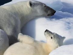 To The Arctic 3D: Polar Bear Family (Webisode)