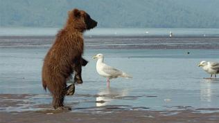 Bears: Digging Up Clams