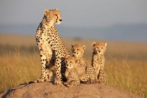 """A scene from """"African Cats: Kingdom of Courage."""""""