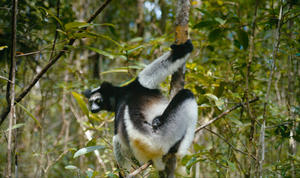 "A scene from ""Island of Lemurs: Madagascar."""
