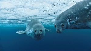 """Weddell seal in """"Oceans."""""""