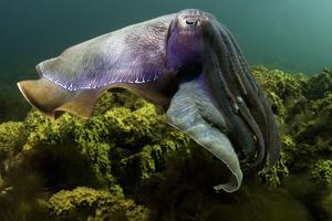 "A Giant Cuttlefish (Sepia apama) in ""Under the Sea."""
