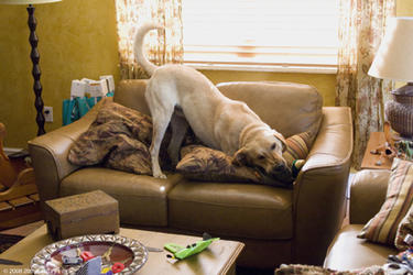 "Marley demolishes a sofa - the latest ""victim"" of his voracious appetite in ""Marley & Me."""