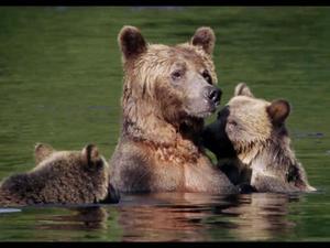 Bears - Trailer