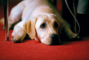 """Quill in """"Quill: The Life of a Guide Dog."""""""