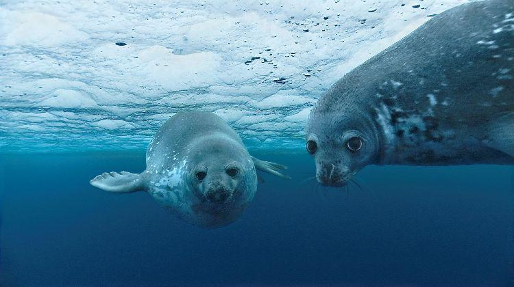 Weddell seal in