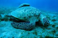 Green Turtle in