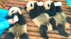 Pandas: Trailer 1