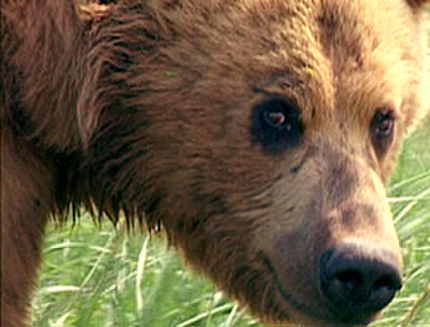 Grizzly Man Photos + Posters