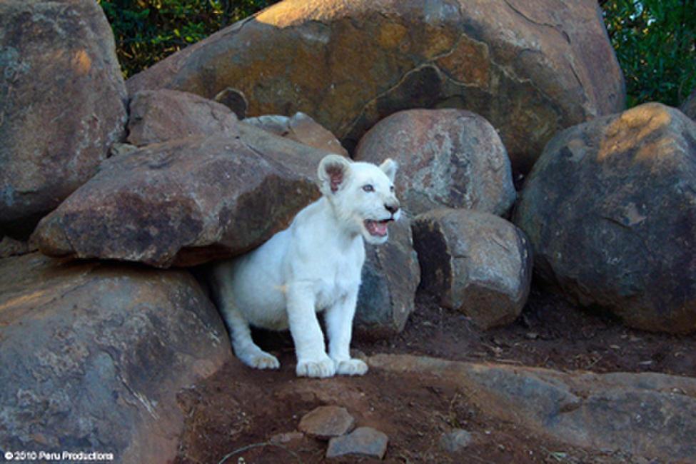 White Lion Photos + Posters