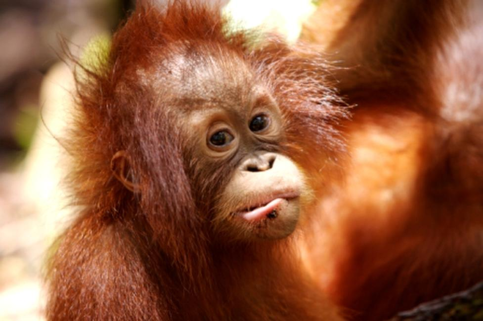 Orangutans: One Minute to Midnight Photos + Posters