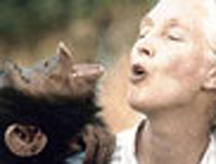 Jane Goodall's Wild Chimpanzees Photos + Posters