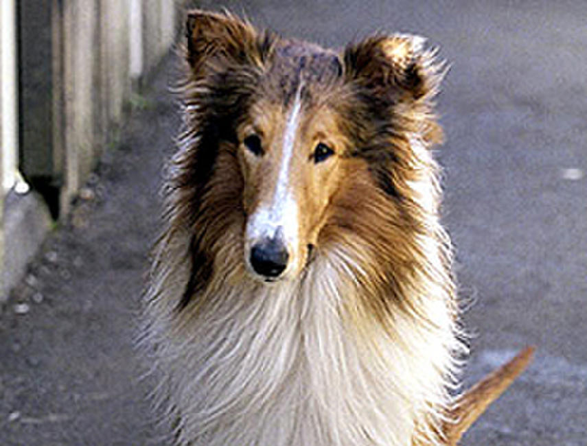 Lassie Photos + Posters
